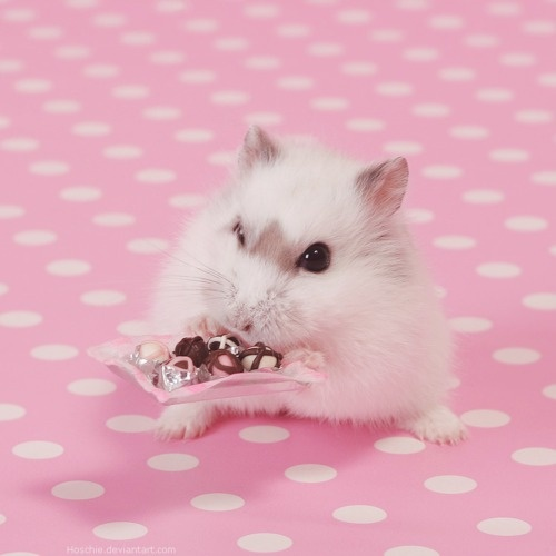 57 Best Images About Cool Hamster Stuff On Pinterest