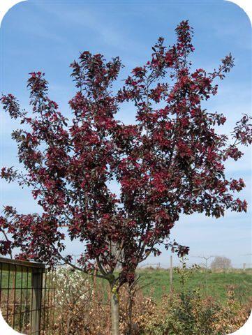Sierappeltjes als ideale kleine tuinbomen met mooie bladeren, bloemen en vruchten bloesem