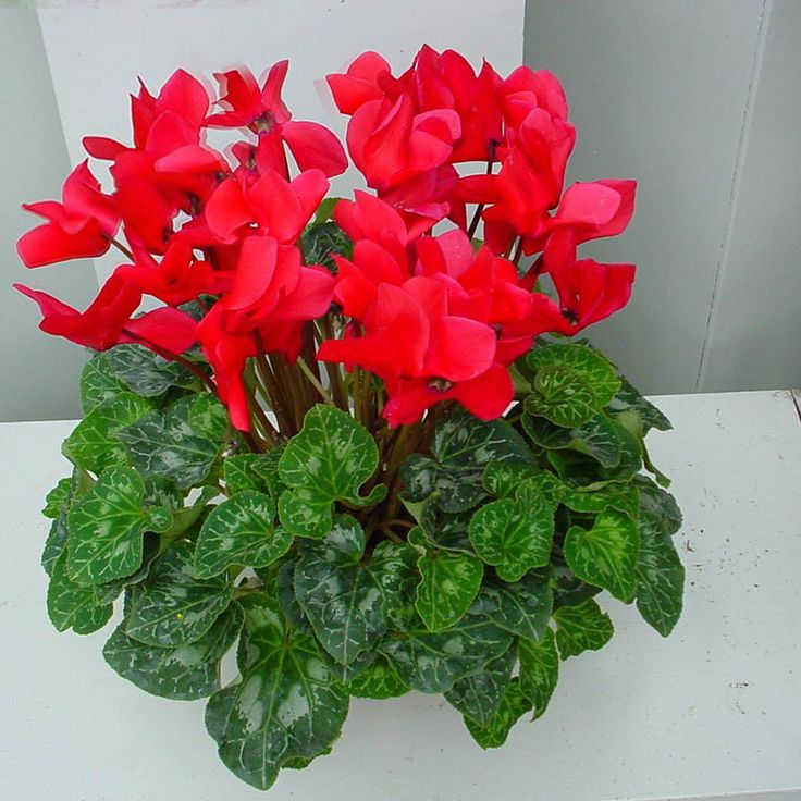 25 unique Cyclamen care ideas on Pinterest Indoor flowers Good