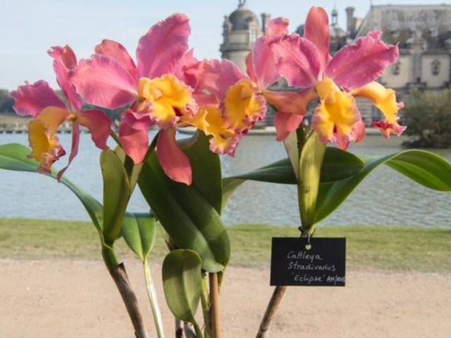 Cattleya stradivarius 'Eclipse' - Jean-Pierre Delagarde. une orchidée parfumée appréciée pour sa belle floraison automnale de ses bouquets jaune d'or, pourpres et roses (Vacherot & Lecoufle).