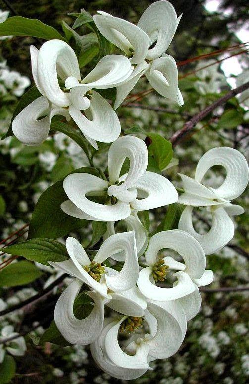 'Magic Dogwood' - Cornus florida subspecies urbiniana - is a rare Mexican version of the common American Dogwood tree. Too bad my hubby has decided that only fruiting trees are allowed :0P