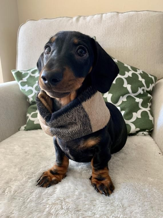 Dachshund Puppy For Sale In Mount Vernon Oh Adn 47473 On