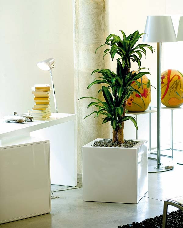 Mass Cane Or Corn Plant In A Modern Container, Perfect For A Home Office Or