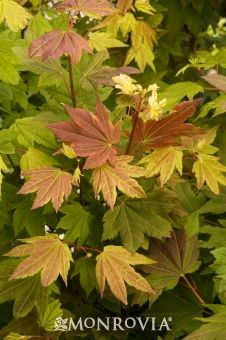 Monrovia's Pacific Fire Vine Maple details and information. Learn more about…