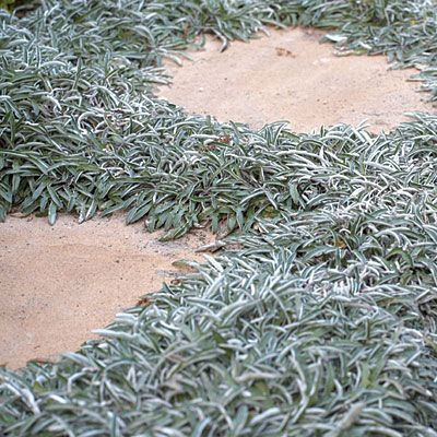 Silver Carpet - Dymondia Margaretae. Stepable groundcover. Drought resistant. Not plastic, not gravel, not painted. Not phony. YES!