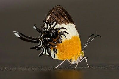Helicopis gnidus
