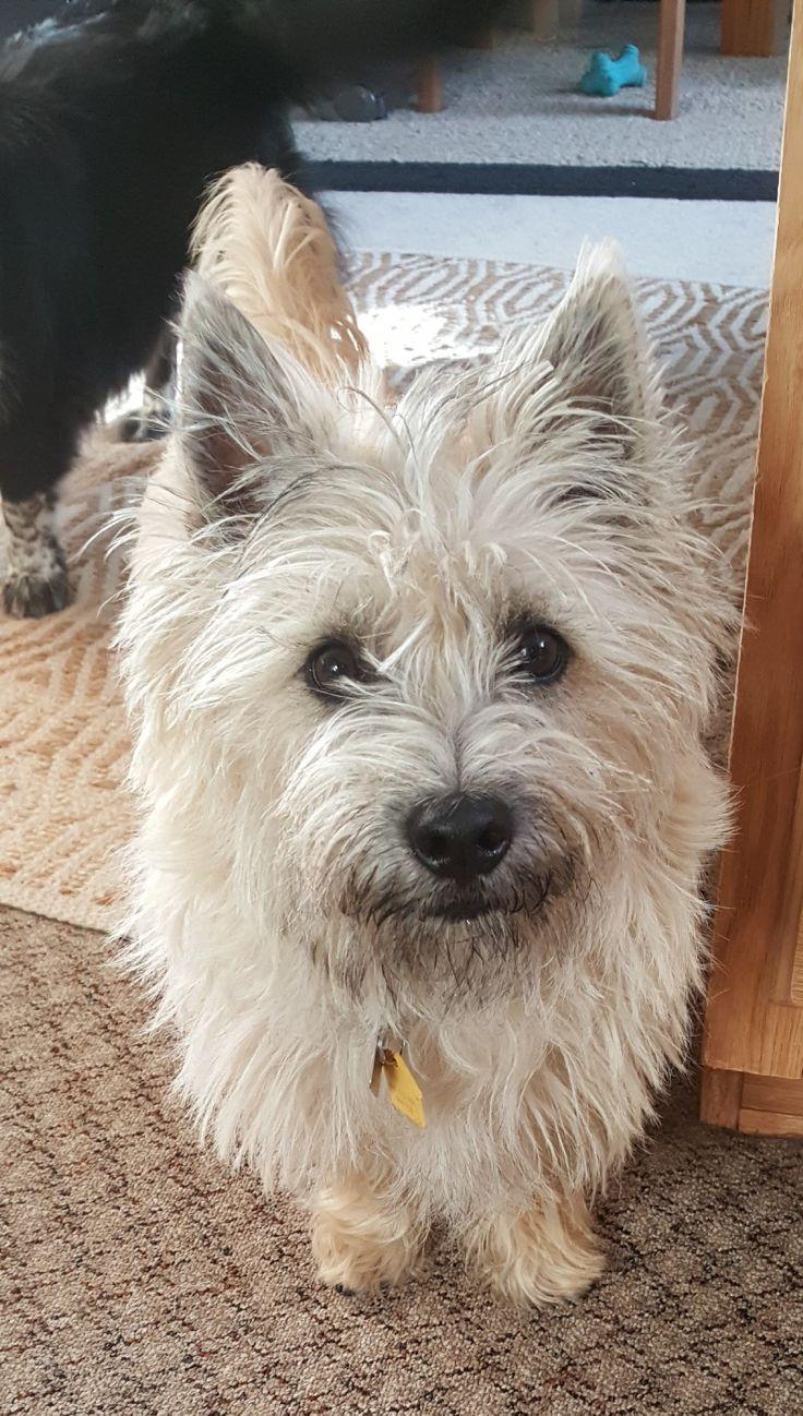 Best 25+ Cairn terrier puppies ideas on Pinterest | Cairn ...