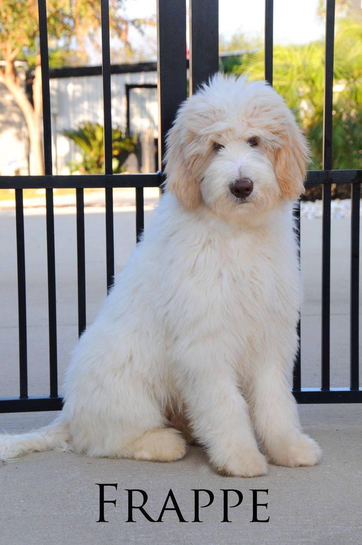 This is one of our favorite parents! This is a Standard, F2 English TeddyBear Goldendoodle from Smeraglia!!! (Yes! She is just as sweet as she is beautiful!!) www.teddybeargoldendoodles.com