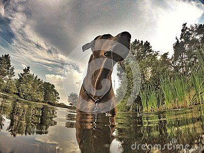 An adorable Rhodesian Ridgeback hound dog in water. The seven years old male is looking cute while standing outside in the water. Bright brown eyes looking straight. Image taken with a GoPro action camera with an ultra wide lens.
