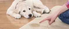 Cómo educar a un perro para que no haga pis en casa