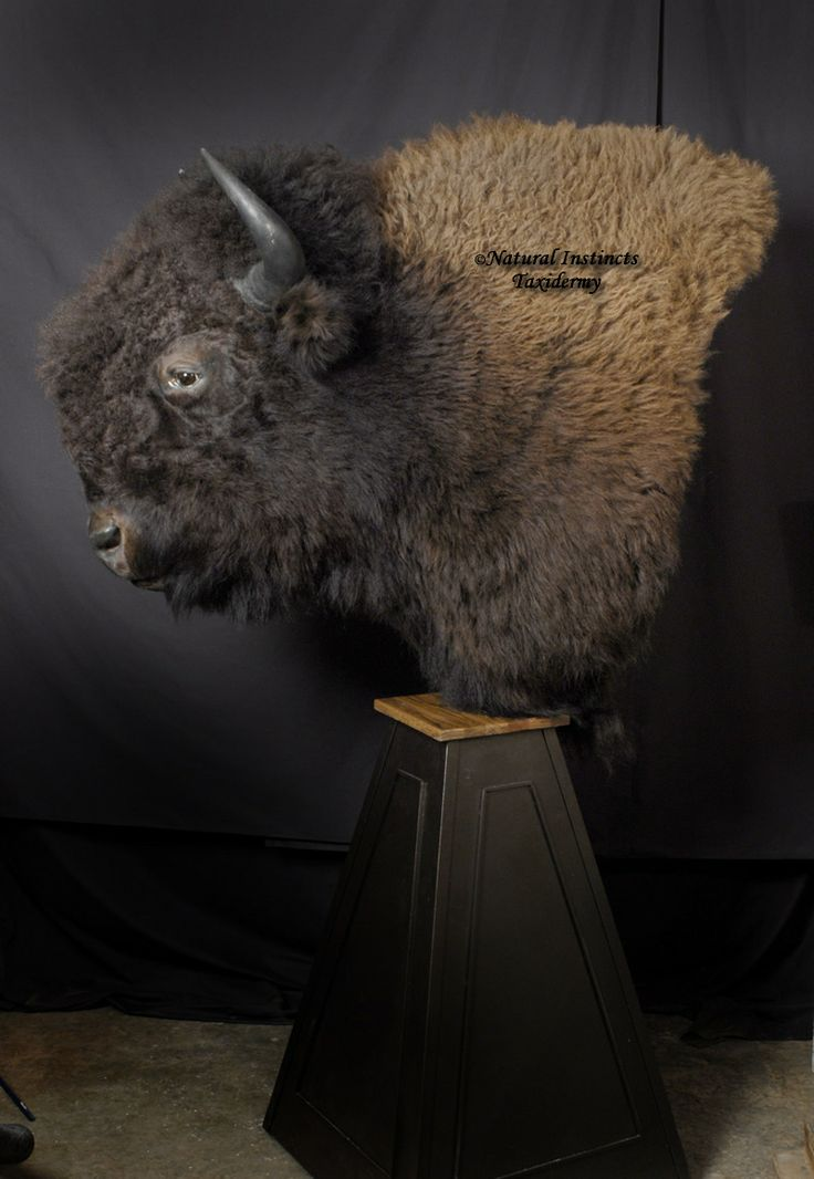 1000 Images About Buffalo Mounts On Pinterest Horns