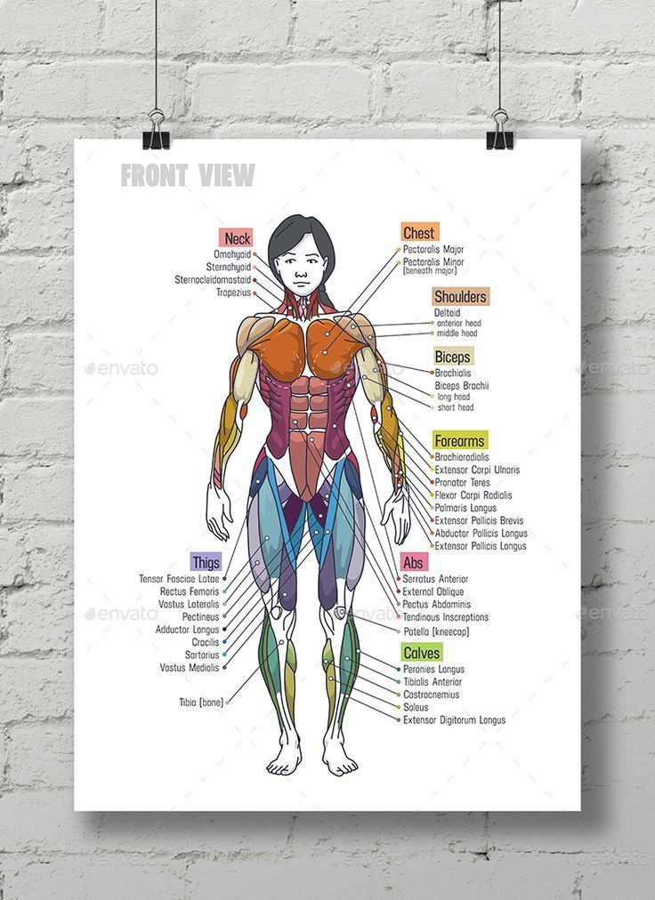 Muskelanatomie der Frau §³hart #Ad #Muscle, #affiliate, #
