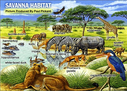 African Savanna Climate | Dry savannas are characterized by unreliable rainfall, 200-600 mm/yr ...