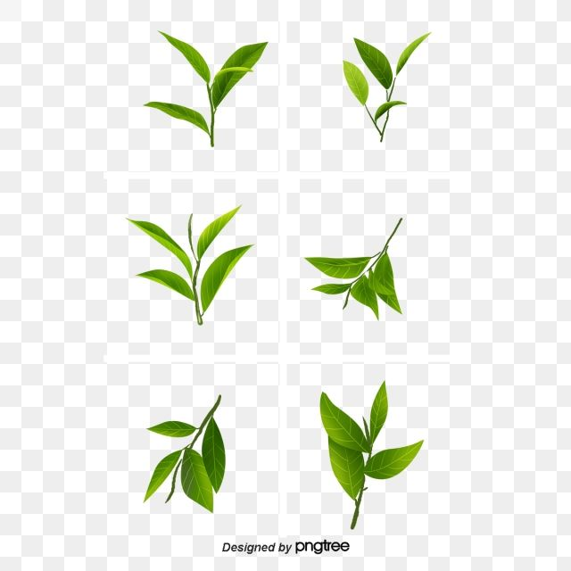 Tea Leaf Green Camellia Tea Clipart Leaves Clipart Leaf Clipart Vector Free Clip Art