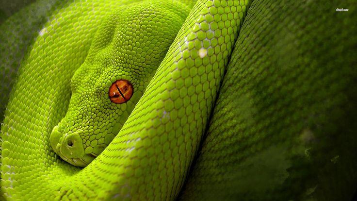 Full HD p Snake Wallpapers HD, Desktop Backgrounds  640×512 Snake Image Wallpapers (44 Wallpapers) | Adorable Wallpapers
