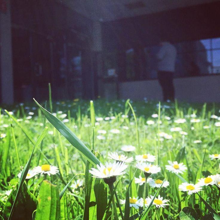 U nas #takasytuacja - przed wejściem powita Was prawdziwy stokrotkowy dywan #encek #stokrotki #wiosna #najlepiej #czekamynawas #zapraszamy #spring #urban #welcome żadne stokrotki nie ucierpiały podczas robienia tego zdjęcia