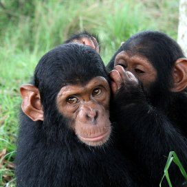 The Jane Goodall Institute cares for orphan chimpanzees at the Tchimpounga Chimpanzee Rehabilitation Center
