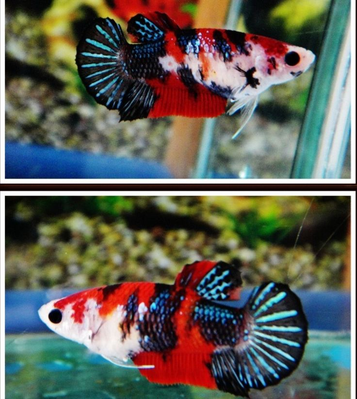 1000 images about bettas on pinterest copper auction for Female koi fish