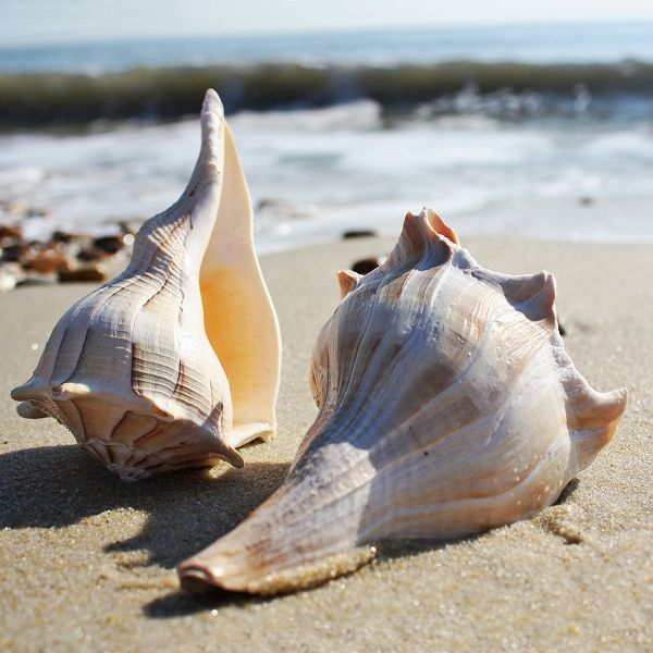 Lightning Whelk Shell