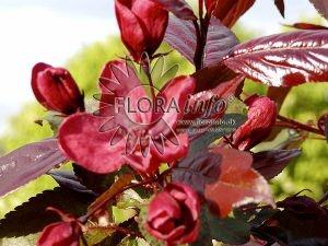 Rødbladet Paradisæble /Malus hybrid 'Royal Beauty'