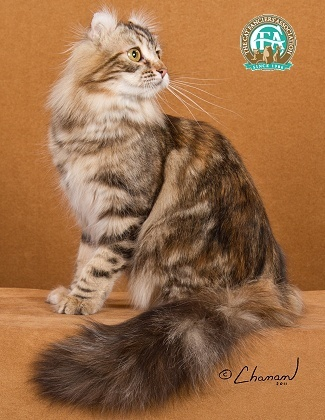 American Curl Russia 17+ best images about ...