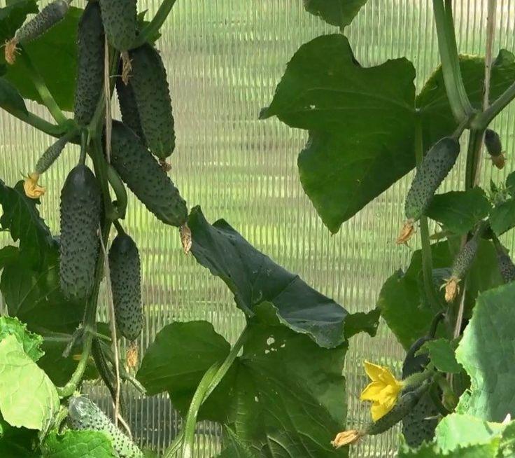 Мой секрет подкормки для увеличения урожая огурцов во время плодоношения!   дела огородные   Яндекс Дзен