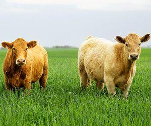 #cows