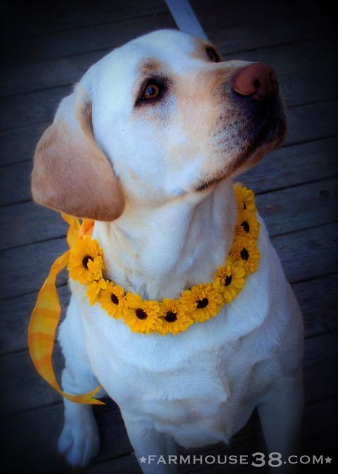 DIY Floral Collar for Dogs from Farmhouse38.com