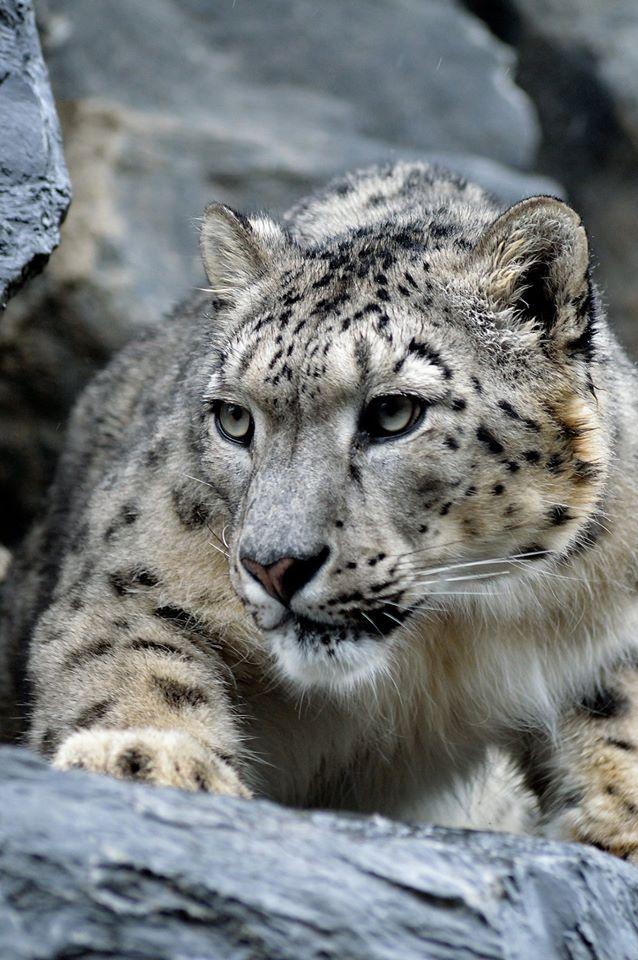 терпит андрея фото снежных барсов ягуаров фотографировал