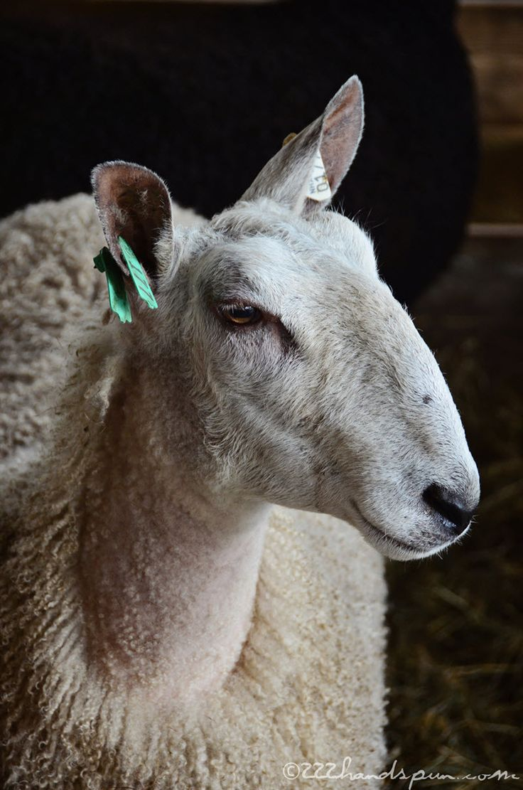 Bluefaced Leicester (BFL) Sheep, Maryland Sheep and Wool Festival 2016 - © 222handspun.com