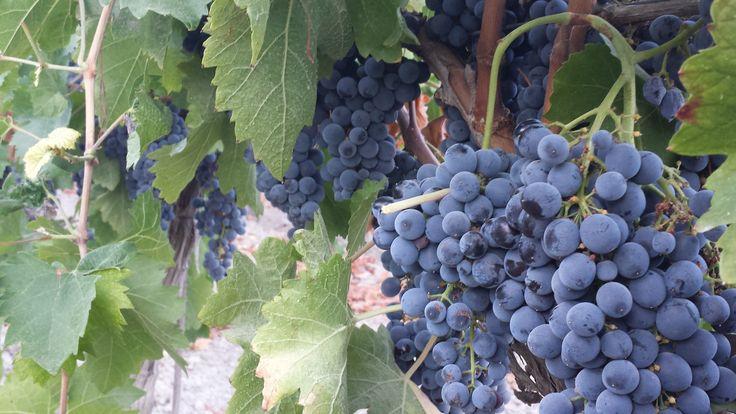 vitigno Nero d'Avola
