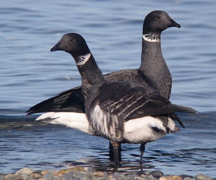 Brant geese fly up here every spring from mexico and then make there way to alaska