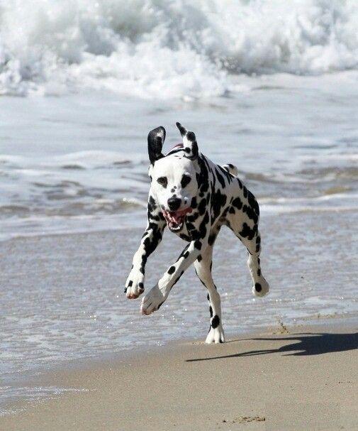 Dalmatian dog running #dalmatian #dog #running https://www.facebook.com/DalmatiansForever