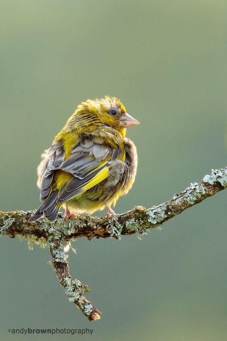 best 25 greenfinch ideas on pinterest pretty birds beautiful