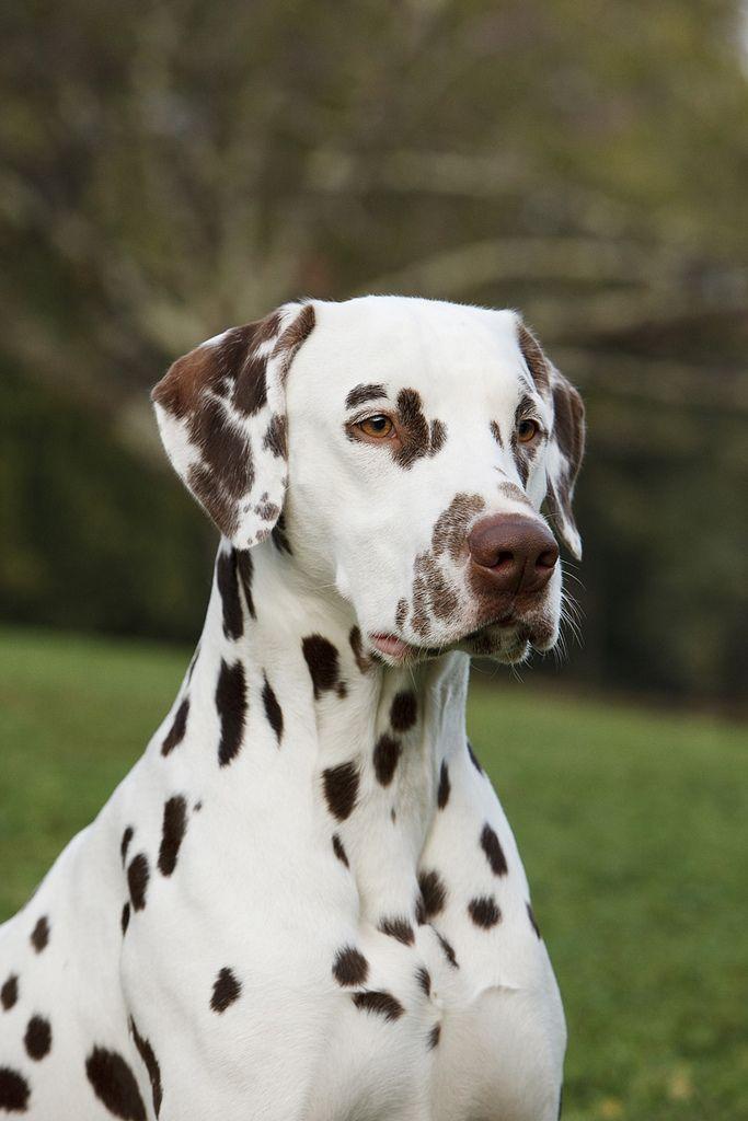 Dalmatian Puppies For Sale Nairobi Kenya