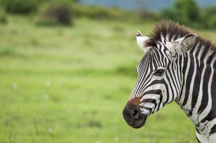 Blancas con rayas negras o negras con rayas blancas  El otro día escuché una discusión sobre el color de las cebras, ¿son las cebras blancas con rayas negras o negras con rayas blancas?