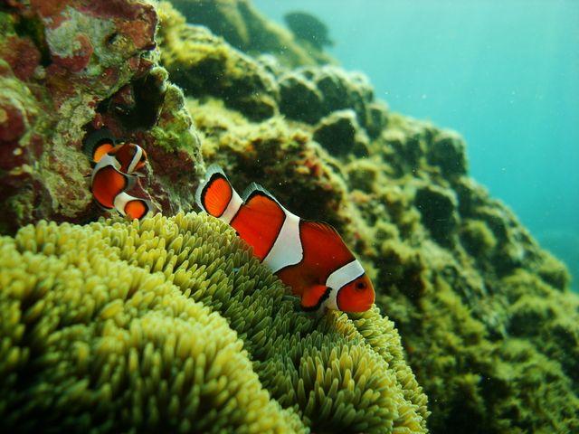 Clown fish 小丑魚與軟珊瑚地毯, 墾丁後壁湖