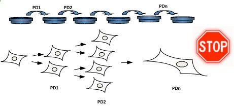 Los cultivos celulares pueden almacenarse preparando viales con pequeñas cantidades de células concentradas en un medio de congelación especial que se depositan en el interior de tanques de nitrógeno líquido (a unos -180°C). De esta manera se puede recuperar de nuevo un cultivo antiguo y volver a crecerlo. Tras la primera descripción de Hayflick en el año 1961 del proceso de senescencia celular, sus cultivos de fibroblastos fueron congelados anotando cuidadosamente la fecha y el nºde d...