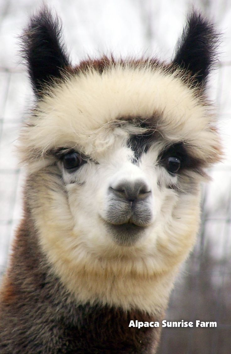 HUACAYA ALPACA. They are beautiful and the exact same of alpaca that we have at http://sacredmountainfarms.com