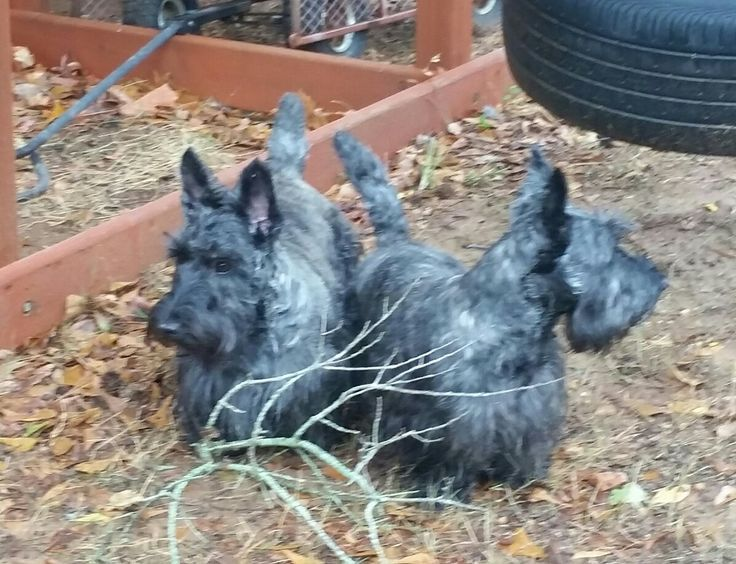Brindle scottish terriers  #yuki #yukituristainsolita #dog #scottishterrier #wheatscottie #cachorro  #cachorroetudodebom #pet #pets #petsofinstagram #petsgram #instapuppy #cute #instacute #instapet #puppylove #puppygram #scotties #terrier #scottishterriersofinstagram #puppiesofinstagram #scottielove #scottielove #scottish_terrier #scottielovers #scottieobsessed #scottiegram #scottishterribles  #themostbeautifuldogintheworld  http://bitsmag.com.br/category/vlog/yuki