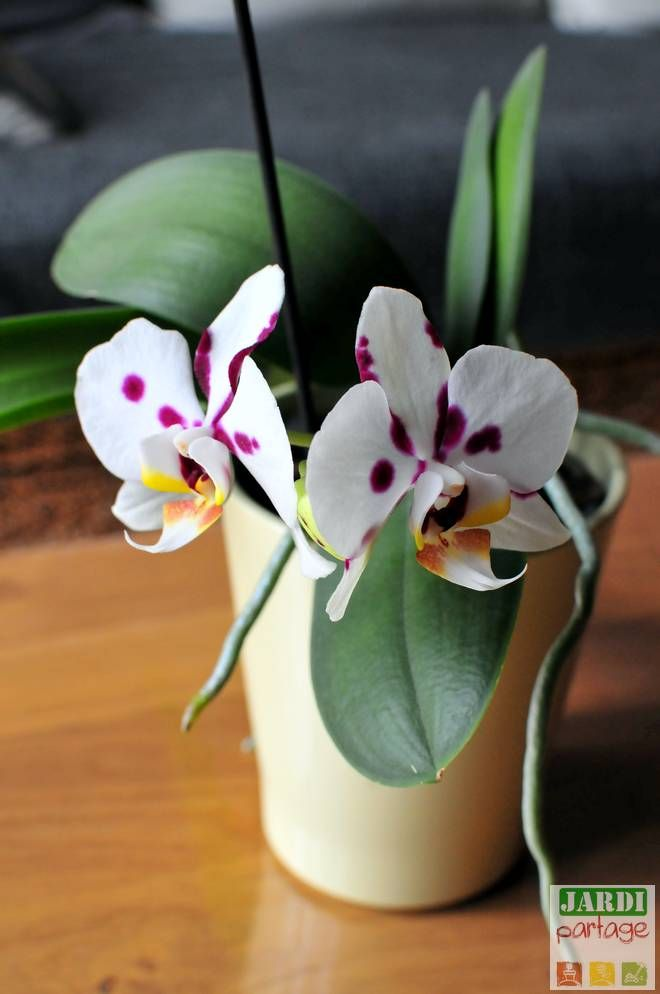 comment faire refleurir une orchid e astuces cuisine. Black Bedroom Furniture Sets. Home Design Ideas