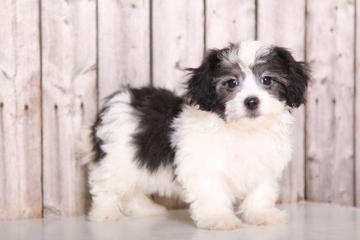 Zuchon puppy for sale in MOUNT VERNON, OH. ADN-49124 on PuppyFinder.com Gender: Male. Age: 9 Weeks Old