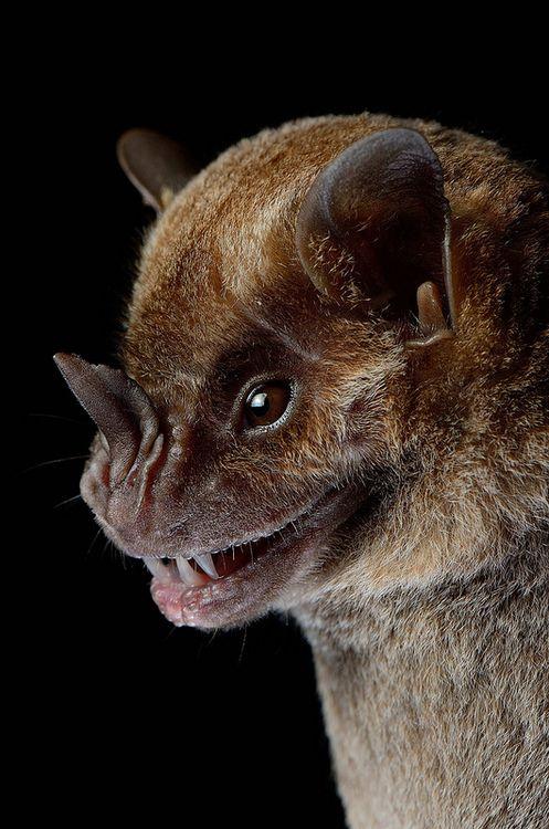 Murcielago frutero / Jamaican Fruit-eating Bat, Artibeus jamaicensis by svaldvard