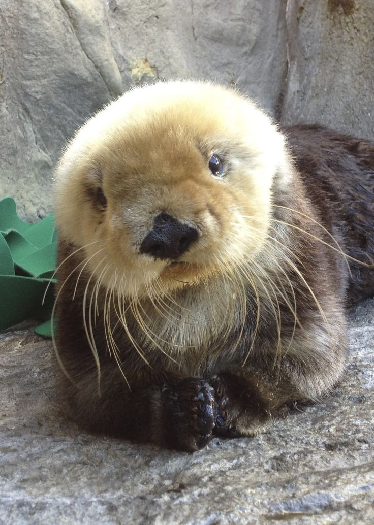 13-year-old Joy, who has reared 16 sea otter pups during her time at the Monterey Bay  Aquarium!