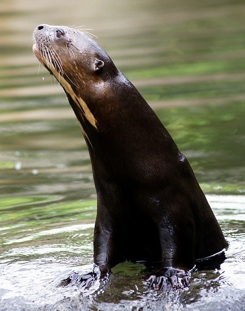 """Giant river otter: """"Known locally as 'river wold', this super-slinky customer is one of South America's top predators and the world's rarest otter. It has large webbed feet to propel it through the water, a long thin tail that acts like a rudder and a sinuous body covered in velvety water-repellent fur."""" 100 Animals To See Before They Die www.bradtguides.com"""