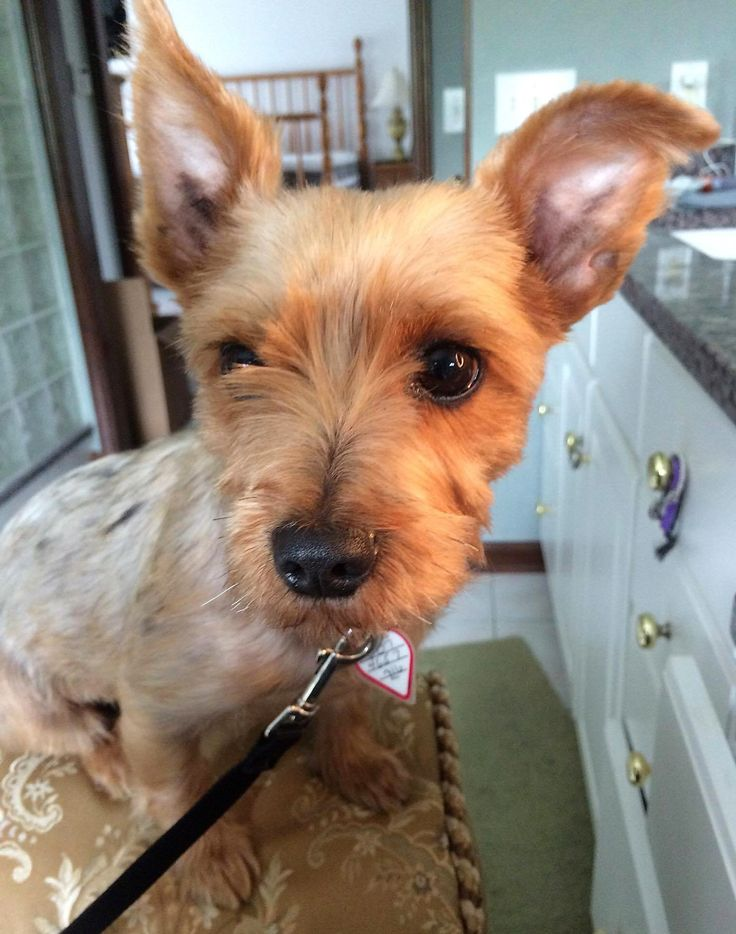 Silky Terrier dog for Adoption in Buffalo, NY. ADN566337