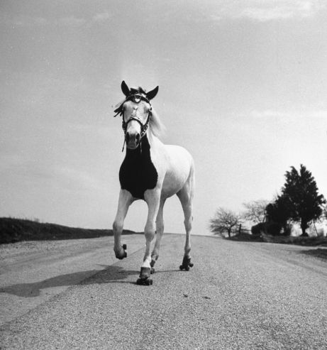 Jimmy, the roller-skating horse, Ohio, 1952.