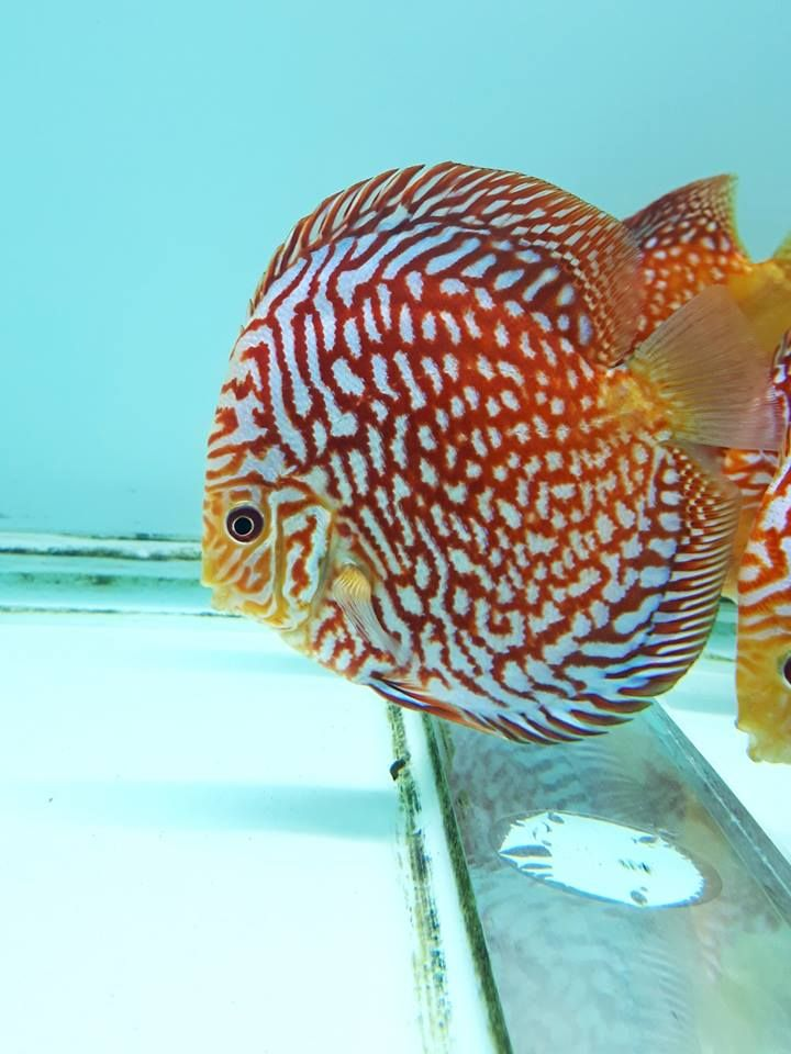 Photo Gallery Of Discus Fish Live Tropical Fish Live Tropical Fish Discus Fish Aquarium Fish Tank Betta Fish Types