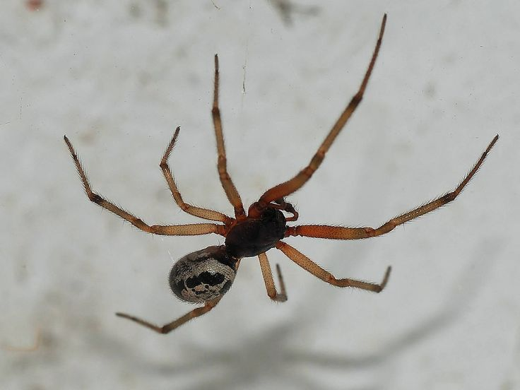 Bad spider! Bites reported across London and Kent as south east sees influx of Britain's most poisonous spider