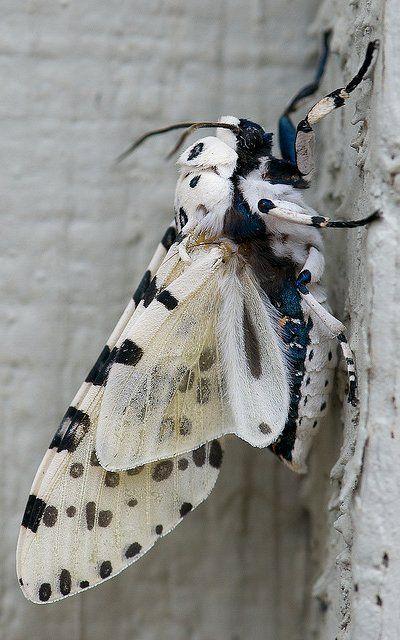 Giant leopard moth.. Austin, Texas, U.S (by nikkorsnapper on Flickr)